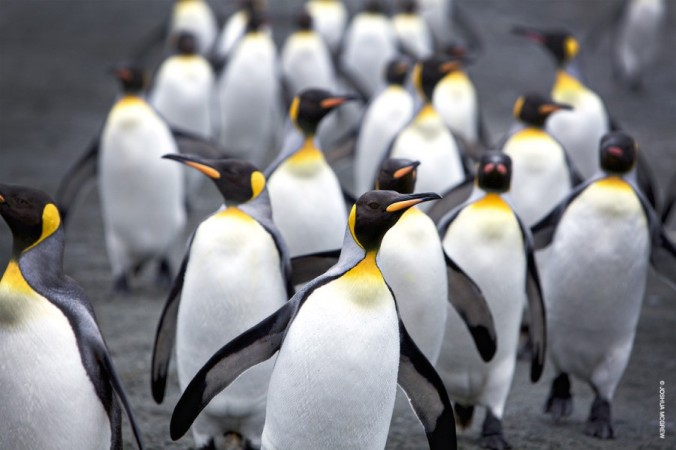 A waddle of king penguins (Aptenodytes patagonicus)