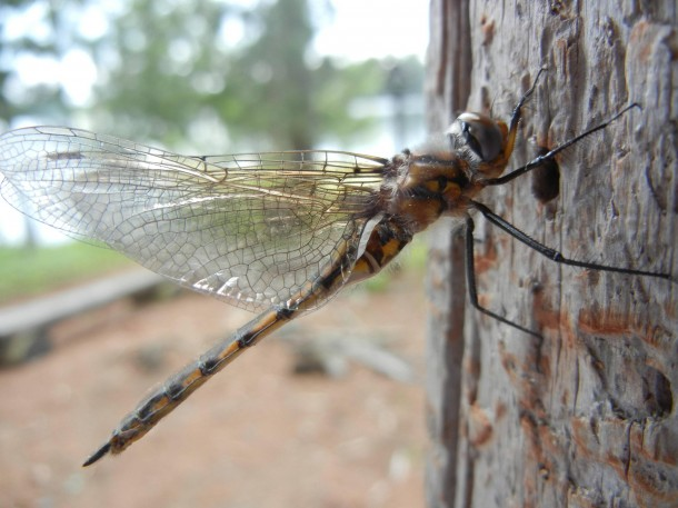 Dragonfly drying his wings.