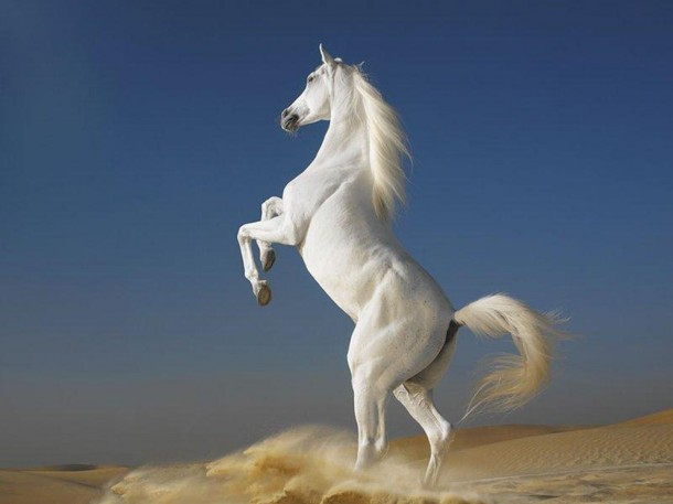 A white Arabian horse stallion.