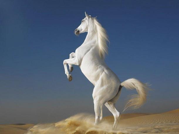 A white Arabian horse stallion.