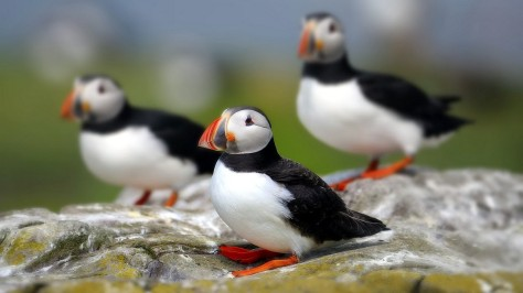 Atlantic Puffin Seabirds