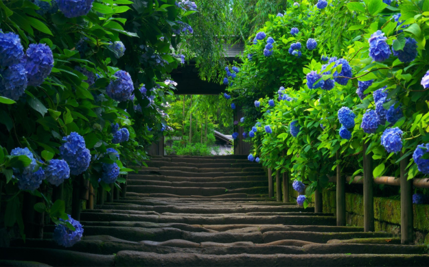Beautiful Hydrangea Path in Japan