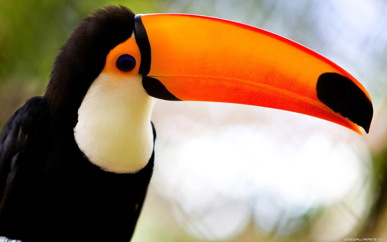 Caribbean Toucan
