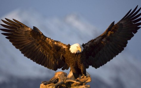 Eagle spreading its wings