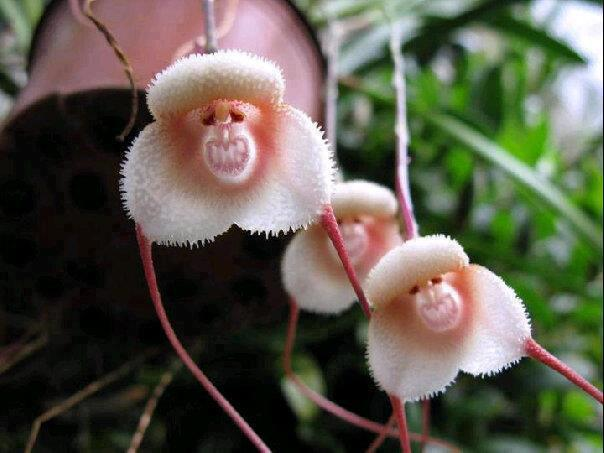 Rare and Mysterious Grinning Monkey Orchids