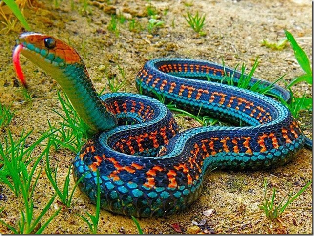 California Red-Sided Garter Snake.