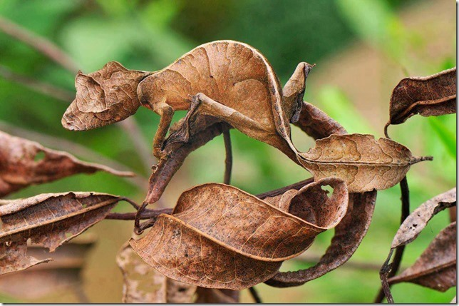 Unbelievable Camouflage by Satanic Leaf-Tailed Gecko