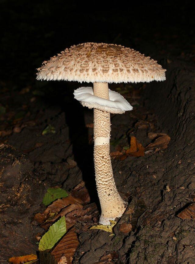 20170602-Chlorophyllum brunneum – Shaggy Parasol Mushroom ... |Parasol Mushroom